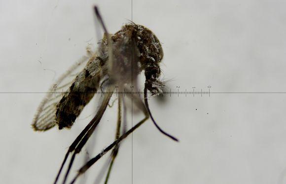 Keltakuumehyttynen Aedes aegypti mosquito mikroskoopin läpi katsottuna.