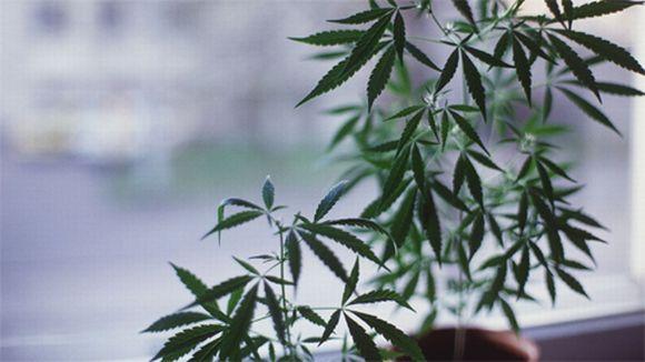 Hamppu, Cannabis sativa