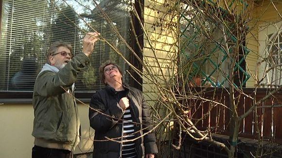 Mies ja nainen tutkivat persikkapuuta.