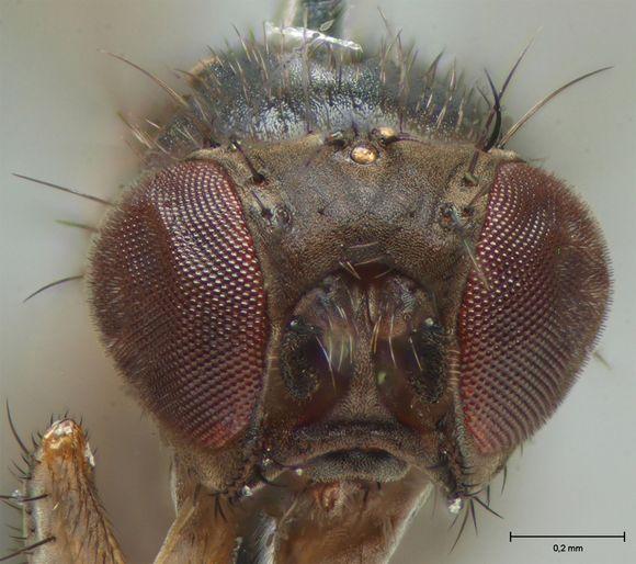 Drosophila tristis