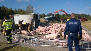 Sikoja kuljettanut eläinkuljetusauto kaatui ojaan
