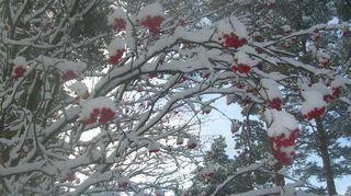 Lunta pihlajassa.