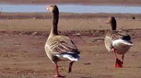 Kaksi lintua kävelee hiekkarannalla keväisessä Yyterissä.