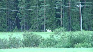 Valkoinen hirvi pellon laidalla