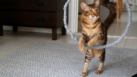 Video: Kissa loikkaa renkaan läpi