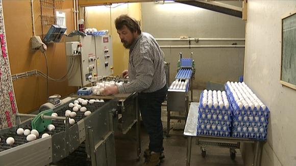 Mies kerää kananmunia kuljettimelta.