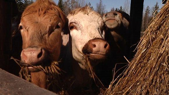 Lähikuvassa lehmiä Kanniston tilalla Loimaan Alastarolla.