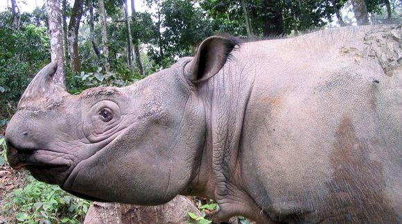 Sumatran sarvikuono