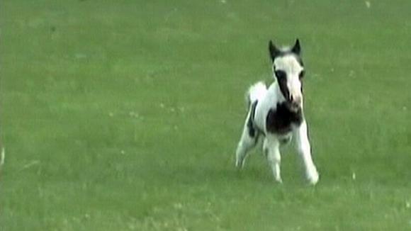 Video: todella pieni amerikkalainen hevonen