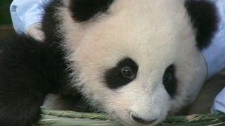 Neljän kuukauden ikäinen pandapentu.