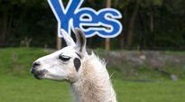 """Laama seisoi """"Yes""""-kyltin edessä pellolla Jedburghissa, Skotlannin ja Englannin rajalla 11. syyskuuta."""