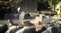 Video: Kapybarat kylpevät kuumassa lähteessä.