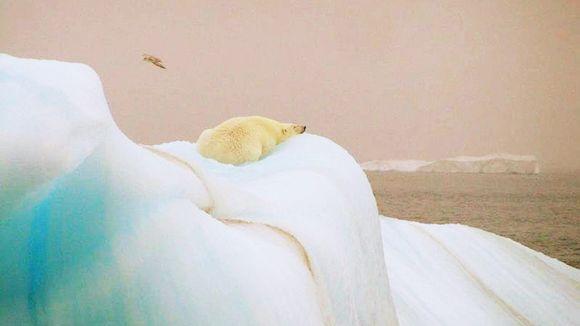 Jääkarhu.