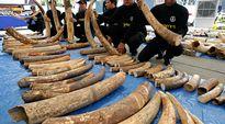 Thaimaan tullin henkilökunta esittelee takavarikoituja norsunluita.