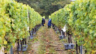 Viiniviljelmä Itä-Sussexissa.