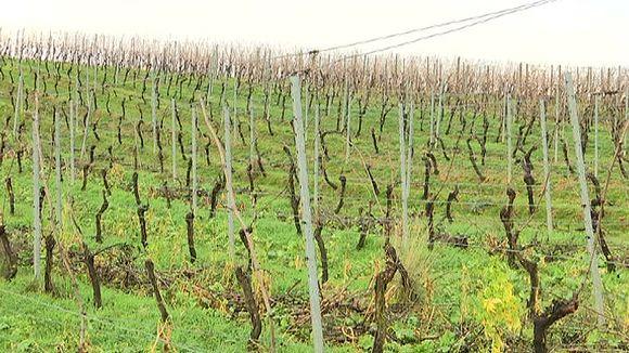 Rheinland-Pfalzin on viiniviljelysmaata