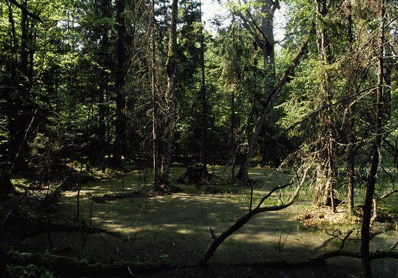 Bialowiezan metsää Puolassa.