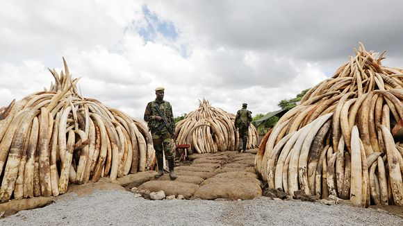 Salametsätäjiltä takavarikoituja norsujen syöksyhampaita polttorovioissa, jotka poltetaan lauantaina.