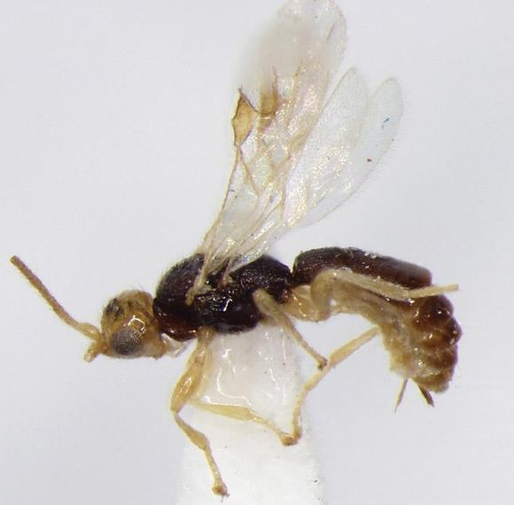 Conobregma bradpitti -ampiainen