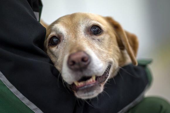 Labradorinnoutaja sylissä