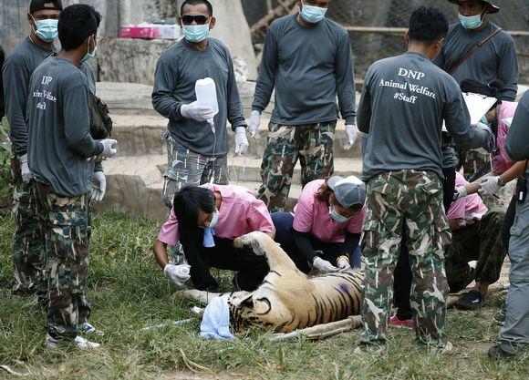 Joukko elänlääkäreitä, maskit kasvoilla, ympäröi maassa makaavaa tainnutettua suurta tiikeriä.