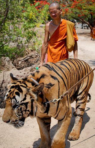 Munkki kävelee suuren tiikerin vierellä.