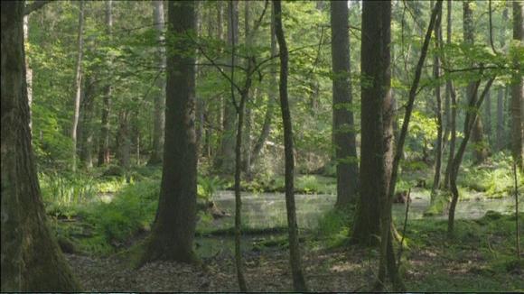 Video: Białowieżan metsä