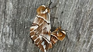 Parittelevat perhoset