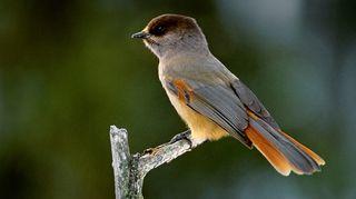 Kuukkeli on Hannu Hautalan sielun lintu.