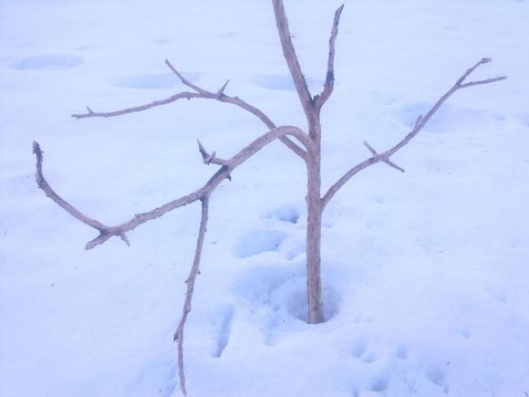 Grafiikka: Lumitalvina puutarha kovilla