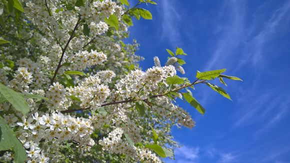 Tuomi kukki Etelä-Suomessa jo toukokuun alussa.