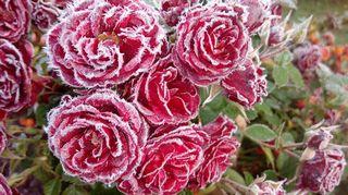 Sääkuva: Pakkasyön tekosia, ruusun kukat kuurassa