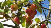 Sääkuva: Omenat kypsyvät Taipalsaarella