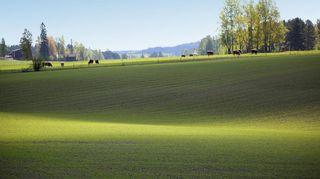 Sääkuva: Lehmät laitumella