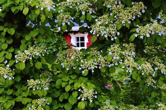 Punainen mökki pilkistää köynnöshortenssin ja omenapuun keskeltä.