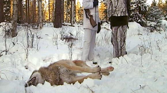 Kuollut susi makaa metsästäjien jalkojen juuressa Ruotsin Värmlandissa.