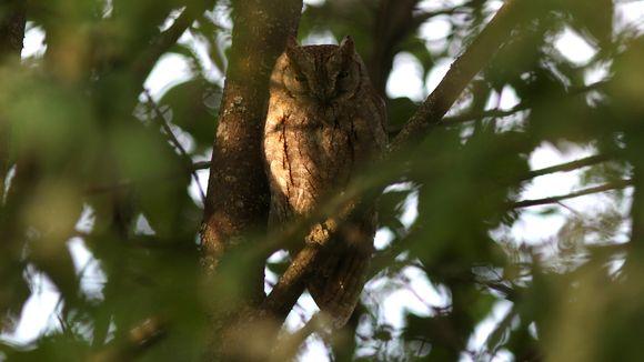 Kyläpöllönen istuu puussa päiväunilla