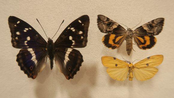 Häiveperhonen, keltaritariyökkönen ja isokeltasiipi