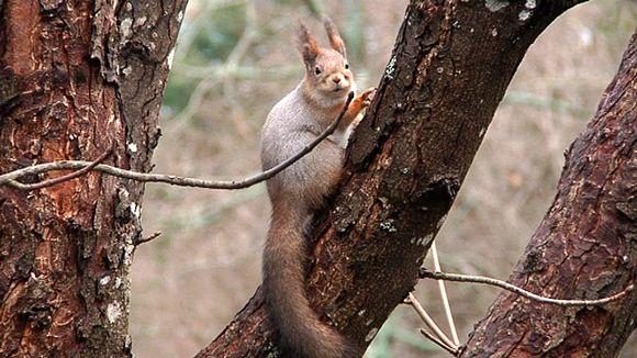 Orava puussa.