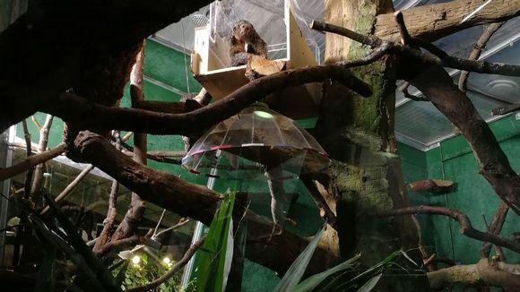 Valkopääsakit puussa, akryylista rakennetussa tunnelissa.