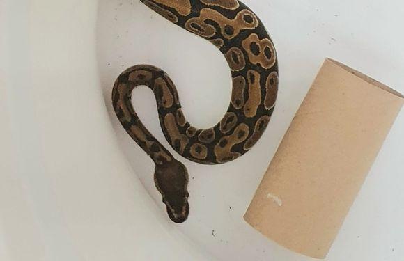 Pelastuslaitos toimittaa käärmeen Viikin löytöeläintaloon, koska kyse on lemmikistä