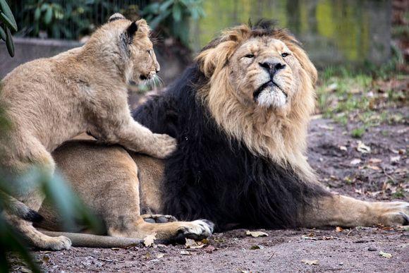 Leijonanpentu urosleijonan kimpussa Korkeasaaren eläintarhassa.