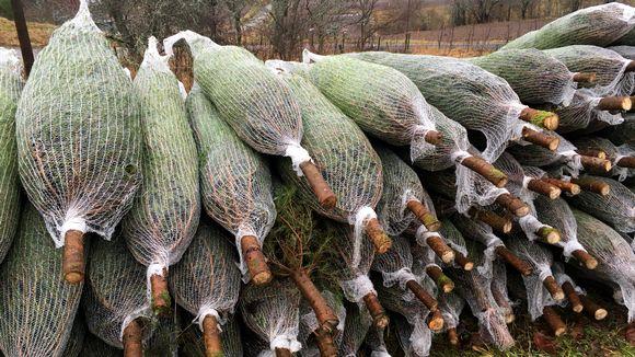 Myyntiin menossa olevia joulukuusia pinottuna raaseporilaisen Kåre Pihlströmin tilalla.