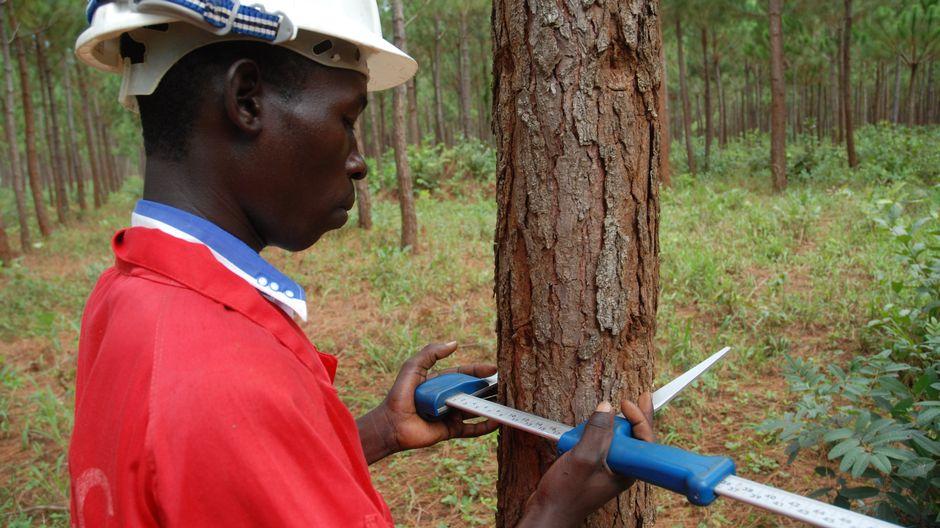 Mies mittaa männyn rungon paksuutta.