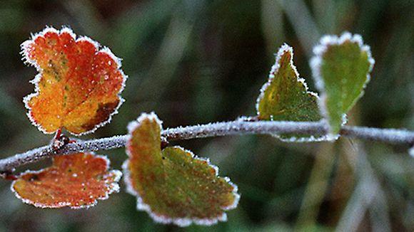 Ruskan värjäämiä haavanlehtiä, joita koristaa valkoinen huurre.