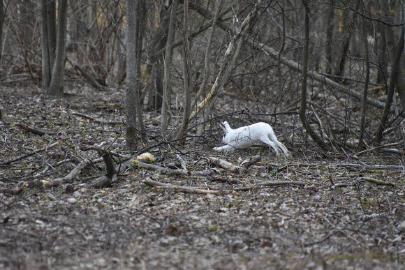 Jänis hyppää metsässä.
