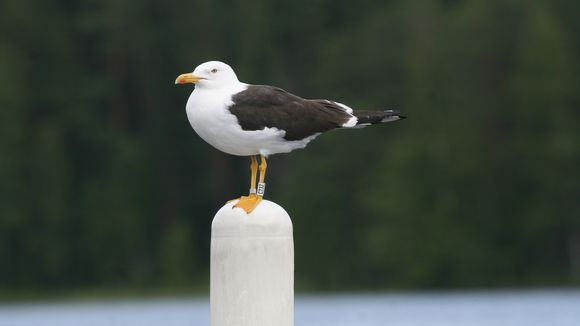 Species of gull facing extinction in Finland | Yle Uutiset | yle fi