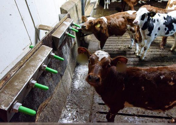 Oikeutta eläimille -yhdistyksen ottama salakuva vasikkakasvattamosta