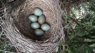 Kuusi munaan punakylkirastaan pesässä.