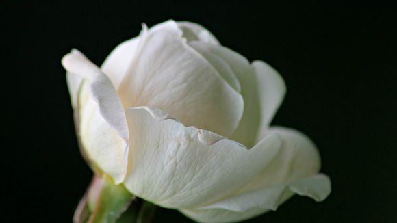 Valkoinen ruusu.